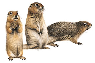 sciuridae Spermophilus parriyi
