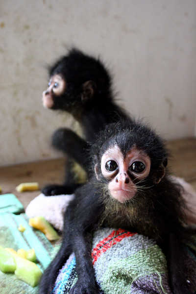 [baby+monkies]