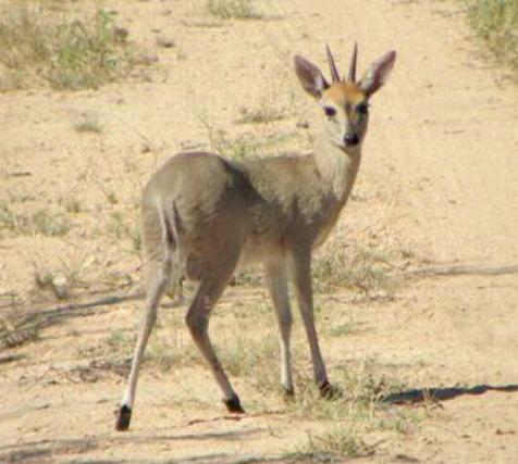 Antelope Africa 99