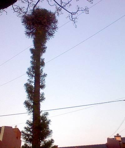 Árbol altísimo