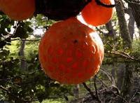 Darwins Fungus (Cyttaria darwinii)