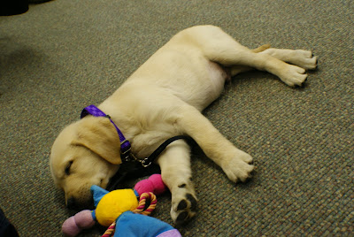 Pompeii is a yellow puppy sleeping on his side, beside a blue,yellow,pink,and purple doll, with different textured hands and feet for chewing