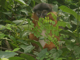 Red-colubus Monkey