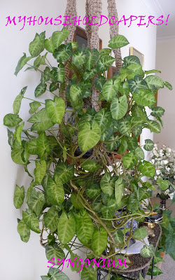 My household capers!: GARDENING: EASY CARE INDOOR PLANTS – SYNGONIUM on variegated arrowhead plant, nephthytis plant, arrowhead vine, arrowhead ivy plant, arrowhead aquatic plant, jade plant, arrowhead plant syngonium, arrowhead plant care, arrowhead perennials, arrowhead plant information, arrowhead leaf plant, arrowhead water plant, arrowhead herb, silver philodendron plant, variegated closet plant, arrowhead plant varieties, white butterfly plant, arrowhead plant poisonous, butterfly arrowhead plant, white arrowhead plant,