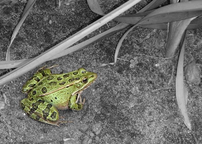 color photo of a frog on a black and white background