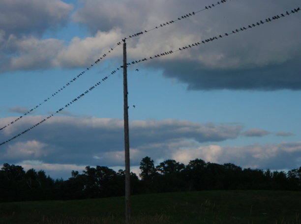 many birds on a power line