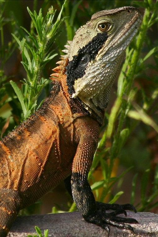 Австралийский водяной дракон