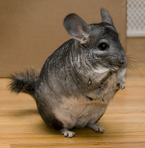 How To Take Care Of Your Pets Chinchillas
