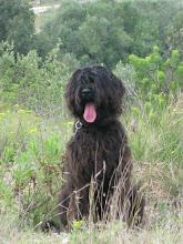 :: ZARA :: Cão de Água Português