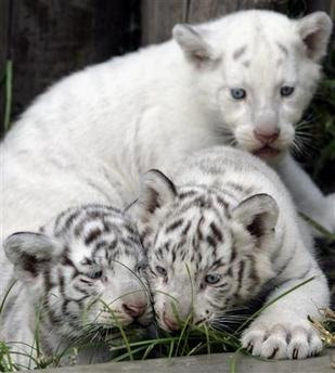 White Tiger Cubs Photo Pics