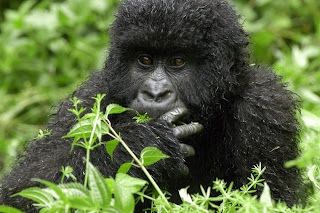 Mountain Gorillas: An Endangered Species: What is the mountain ...