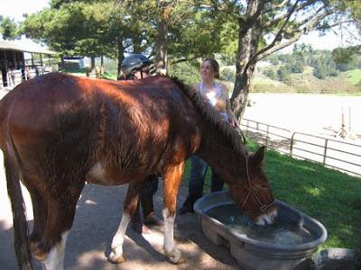 wet mule, drinking water
