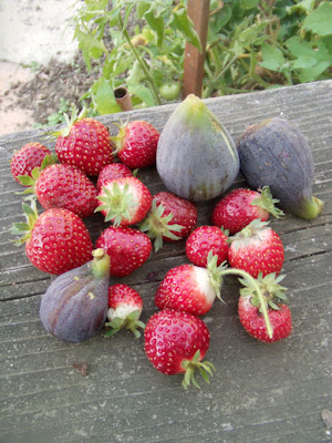 Figs and strawberries, Oakland-East Bay, California