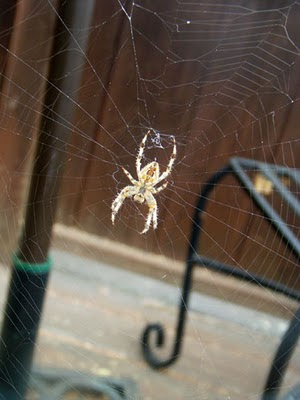 Spider hanging in a web