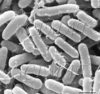 Bakteri Sakazakii