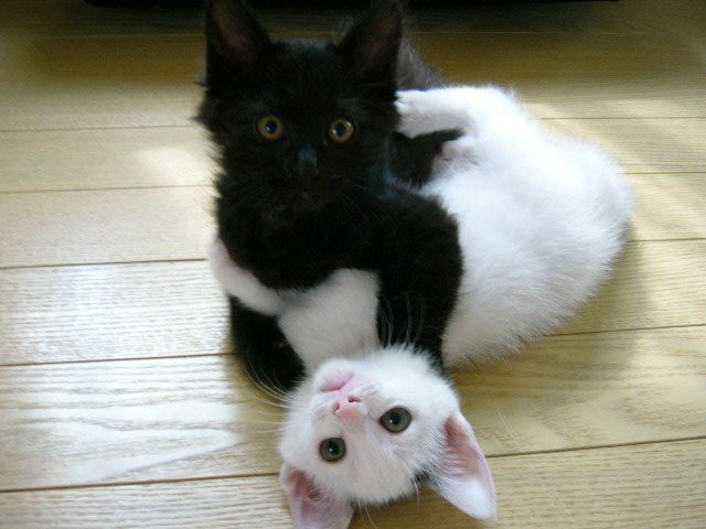 funny pictures of cats and kittens. White Hat and Black Hat Cat