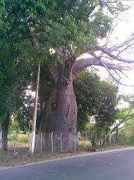 Baobá de Jundiaí - Macaíba RN