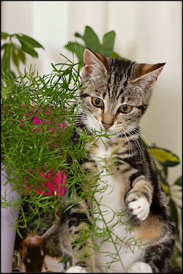 Pansy kitten playing with plant