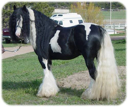paint clydesdale - photo #29