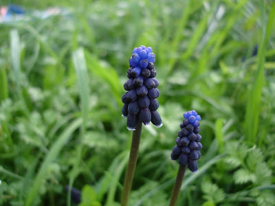 More common grape hyacinths
