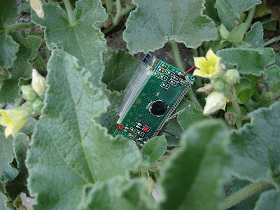Computer component in wild cucumber patch