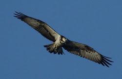 Águila pescadora (Colindres) Cantabria