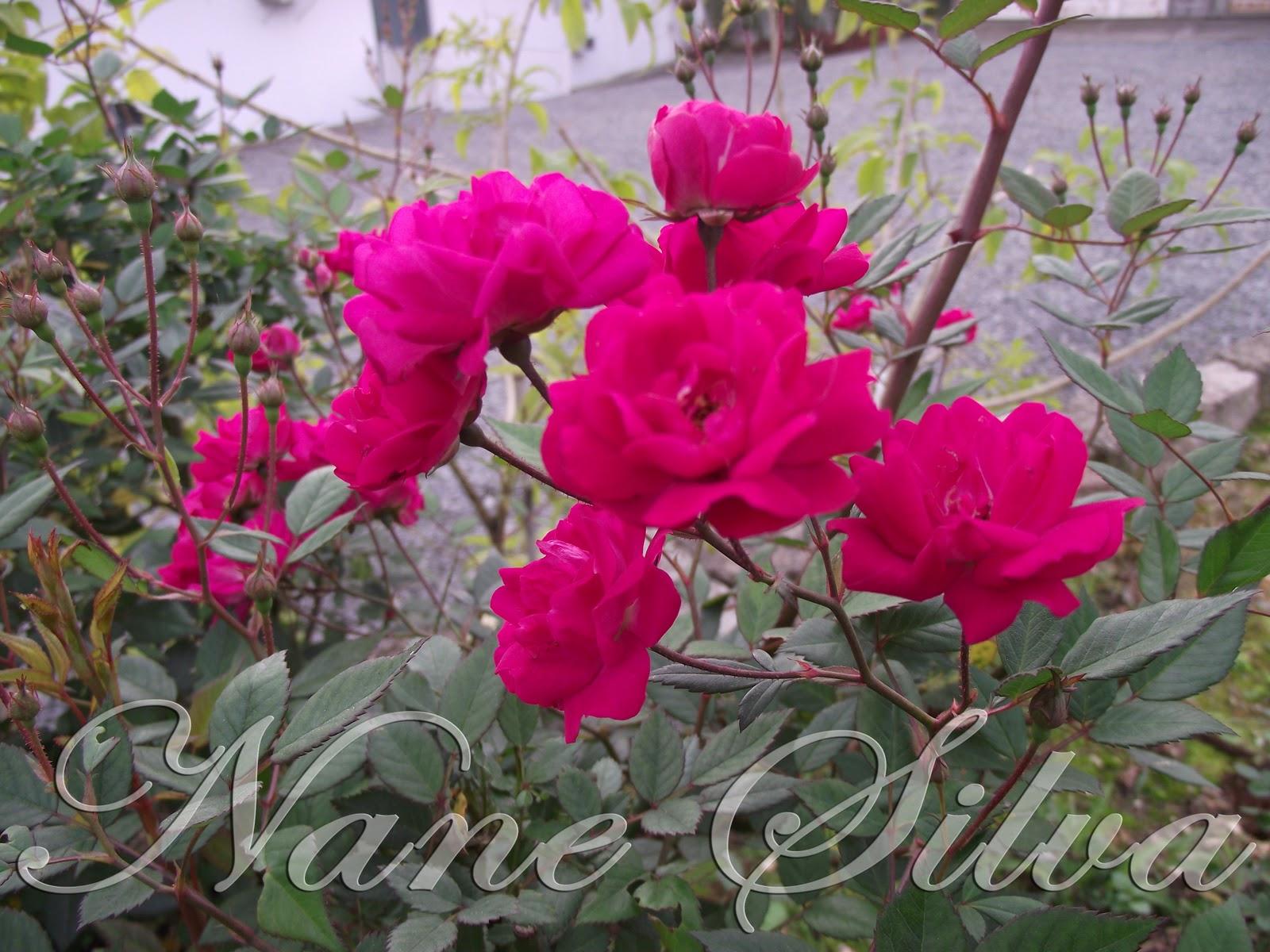 NANE SILVA Mini Rosas do Meu Jardim
