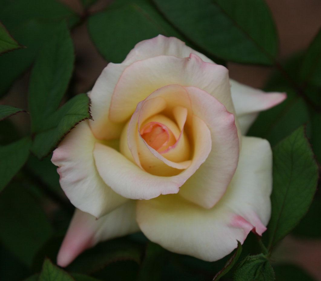http://2.bp.blogspot.com/_nU_WyNag-R8/TOLwGRKtXrI/AAAAAAAAArg/QHJyTtl3mU0/s1600/Diana+Princess+of+Wales+rose+Nov+2010.jpg