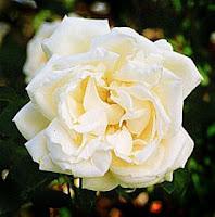 rosa, Frau Karl Drschki