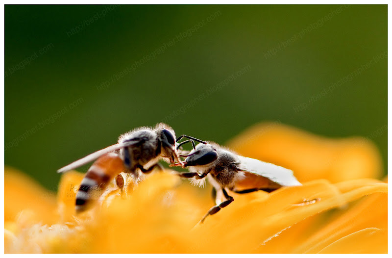 bee communication