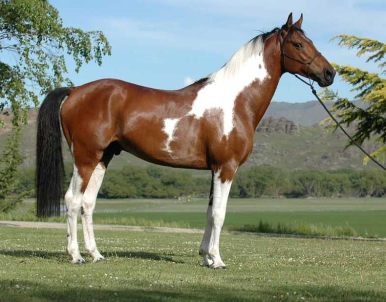 Australianstockhorse