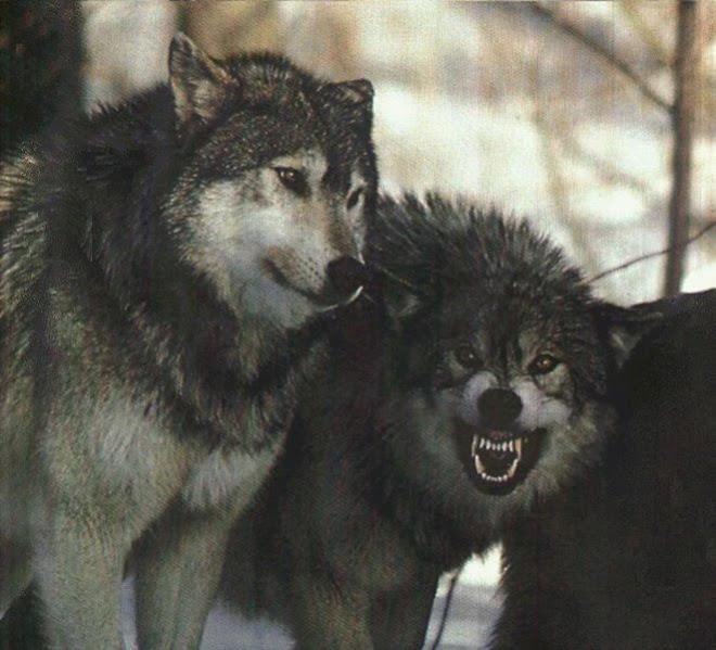 EU LOBO! Bem-Vindos ao território de lobos......sou assim