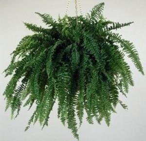 Las plantas de interior plantas flores y jardin - Plantas colgantes interior ...