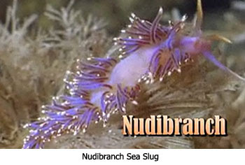 Nudibranch Sea Slug