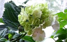 Limefärgad hortensia