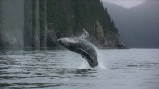 Humpback whale breaching and rolling
