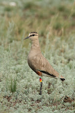 The Sociable Lapwing