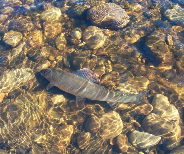 The flee float grayling centrepins for Fish 2 flirt