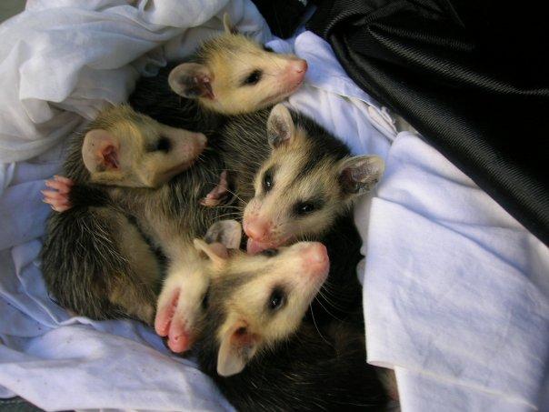 how to make an ausrellin opossoms home