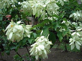 B U N G A Bunga Nusa Indah Putih