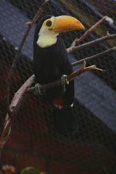 Toco toucan chick