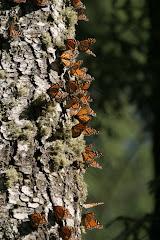 La mariposa monarca. Respeta a los animales y su habitad.