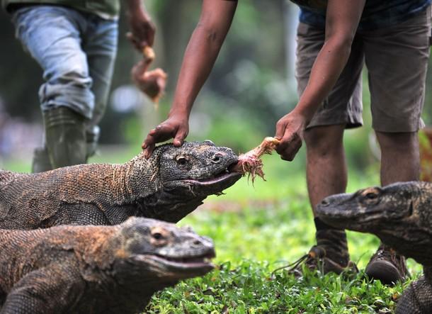 komodo dragons eat chickens at jakarta ragunan zoo animalfwd