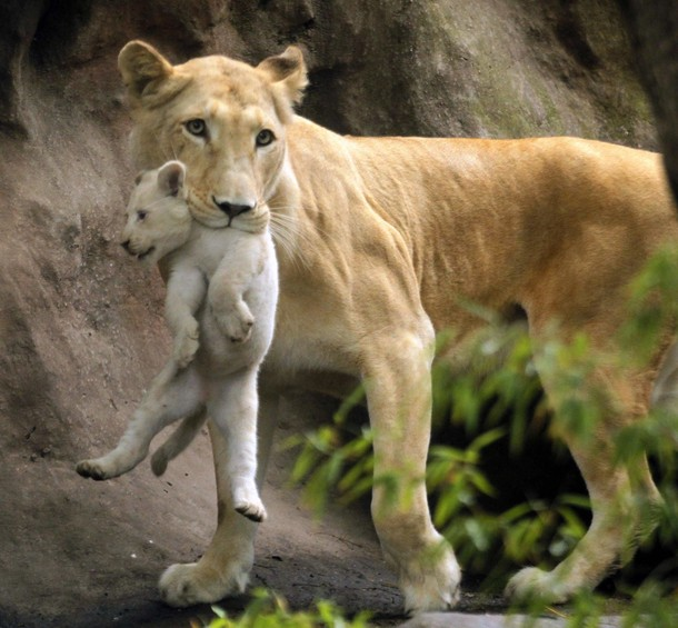 lion and lioness and cub. lion and lioness and cub. Lion And Lioness And Cub