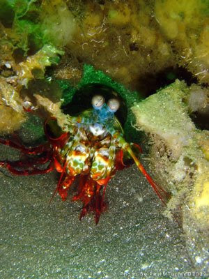 Mantis Shrimp, Secret Bay, NW Bali