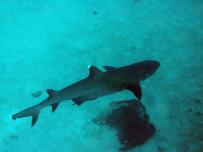 White tip reef shark, the close up