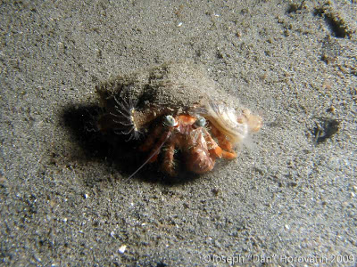 Hermit crab, Mucky Pirates Bay, Pemuteran