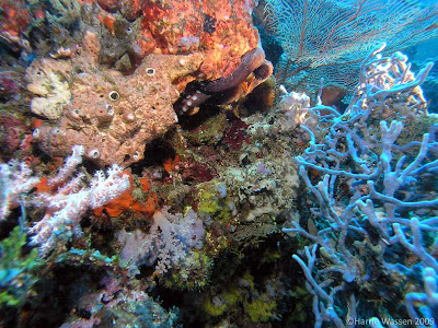 Octopus hidden amongst the coral, Pemuteran Bali