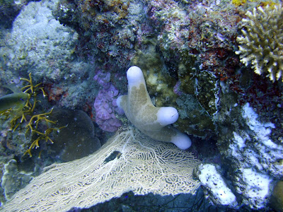 A bloated starfish