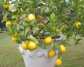 http://2.bp.blogspot.com/_nr8sLebLgg4/S899nT1zPMI/AAAAAAAAHfU/brir6_6pG0A/s400/Meyer+lemon.JPG